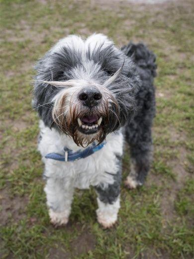 Robbie Blue Cross Dogs Trust Pets Tibetan Terrier