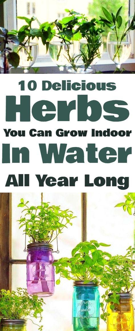 10 Of The Most Delicious Herbs That You Can Grow Indoor In Water All Year Long #indoorplants #houseplants #homehacks #herbs #garden #indoor #gardenideas #gardeningtips #gardening