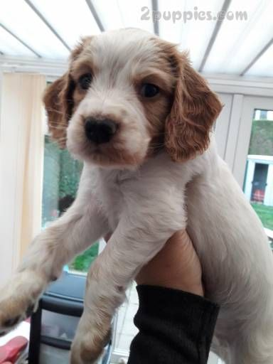 Find Your Dream Puppy Of The Right Dog Breed At 2puppies Spaniel Puppies For Sale English Cocker Spaniel Puppies Super Cute Dogs