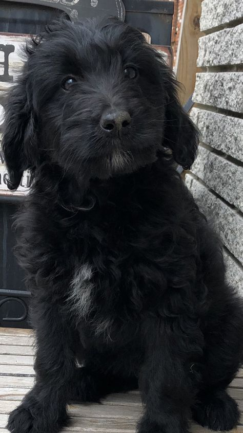 Abby Female F1b Mini Bernedoodle For Sale In Michigan Males