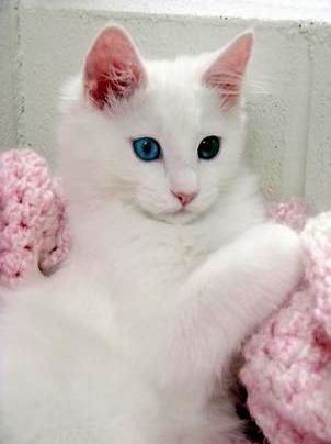 Wonderful Beautiful Cats For Sale In Pakistan Valuable