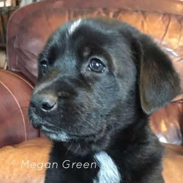 Litter Of 9 German Shepherd Dog Great Dane Mix Puppies For Sale In