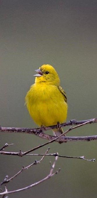 Chirigue Citrino Stripe Tailed Yellow Finch Zitronengilbammer