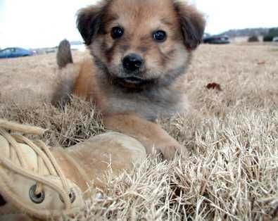 Toby Is A Baby Golden Retriever Chow Chow Mix Puppy Who Was Found