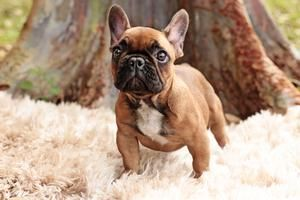 Black Mask Red Fawn Female French Bulldog Compact Well Balanced