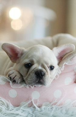 French Bulldog Puppy Laying On Its Bed French Bulldog Puppies