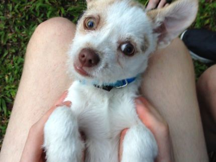 Chihuahua Dogs Puppies Gumtree Australia Gold Coast South