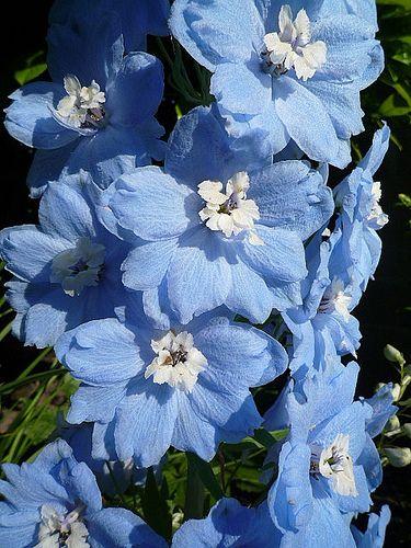 Lovely Pastel Blue Delphinium - you don't see a lot of blue flowers. My Flower, Beautiful Flowers, Cactus Flower, Exotic Flowers, Beautiful Gorgeous, Purple Flowers, Blue Delphinium, Flower Aesthetic, My Secret Garden