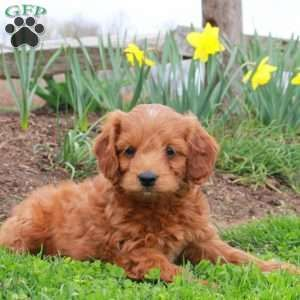 Clyde Mini Goldendoodle Puppy For Sale In Coatesville Pa Mini Goldendoodle Puppies Mini Goldendoodle Goldendoodle Puppy