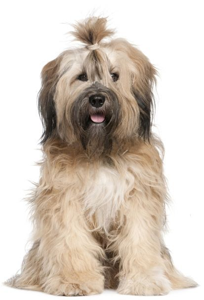 Top 30 Dogs That Don T Shed Small Medium And Large Breeds