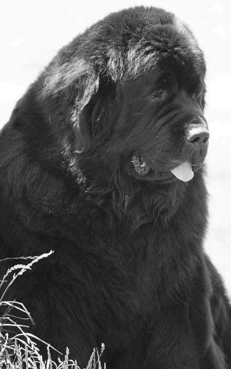 Pin By Stephen Sayad On My Newfies Newfoundland Dog Love Dogs