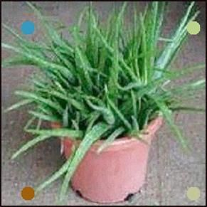 How To Care For Your Aloe Vera Plant The Plant Has A High Growth