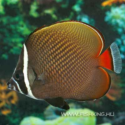 Ch Collare Butterfly Fish Saltwater Fish Tanks Fish