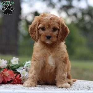 Cavapoo Puppies For Sale In 2020 Cavapoo Puppies Puppies