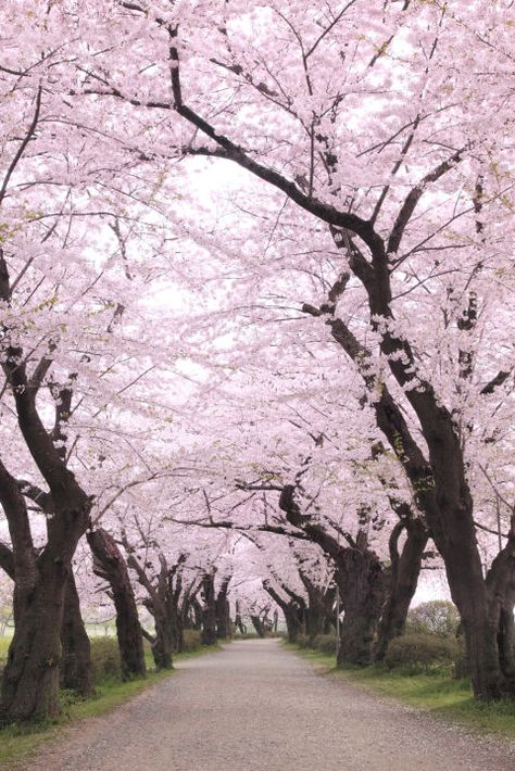 While Japan is beautiful year-round, the few weeks each spring when cherry trees across the country explode with blossoms is a particularly pretty time to visit.