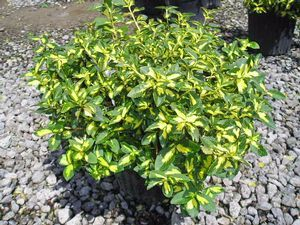 Moonshadow Euonymus Google Search Evergreen Landscape