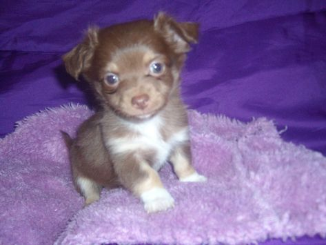 Long Hair Chocolate Chihuahuas Chihuahua Puppies Baby Chihuahua