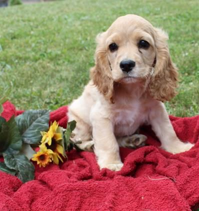 Cocker Spaniel Puppies Spaniel Puppies For Sale Spaniel Puppies Cocker Spaniel Puppies