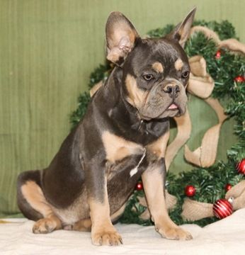 French Bulldog Puppy For Sale In Corona Ca Adn 56820 On