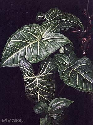 Piante Da Appartamento Syngonium.Syngonium Podophyllum Albolineatum Plant Leaves Plants Indoor