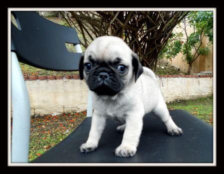 Miniature Tea Cup Pug Puppies Mini Pugs For Sale Image Search