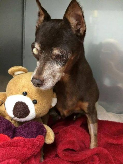 Helen Is A 12 13 Yr Old Special Needs Female Miniature Pinscher
