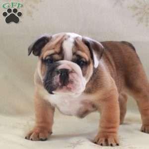Tank English Bulldog Puppy For Sale In Pennsylvania Bulldog