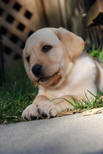 Pin On Labrador Retriever Dogs Puppies
