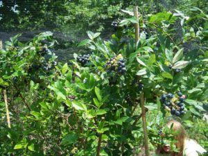 Planting Guides Berry Plants Organic Plants Plants