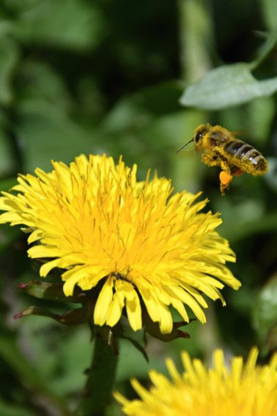 Saving The Dandelions 3 Great Reasons To Never Spray Dandelions In 2020 Dandelion Flower Dandelion Organic Lawn