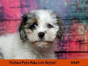 Puppies For Sale Petland In Overland Park Kansas City Puppies For Sale Puppies Puppy Friends