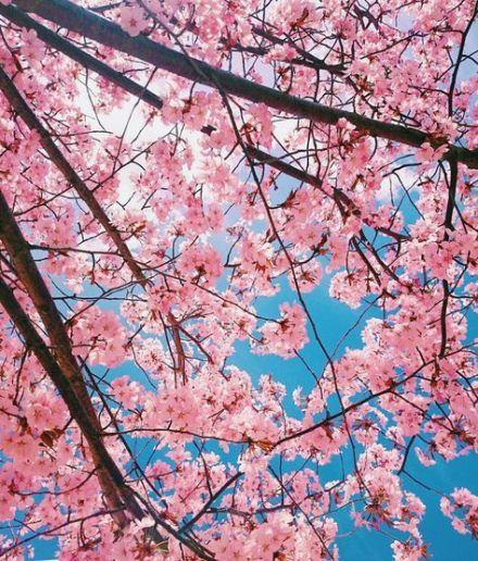 31 Ideas For Sakura Tree Scenery Sakura Tree Christmas Tree Photography Easy Christmas Tree Decorations