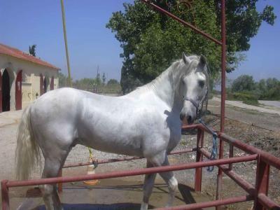 Cheval Espagnol Blanc A Vendre Cheval Espagnol Pur Race Espagnol Cheval