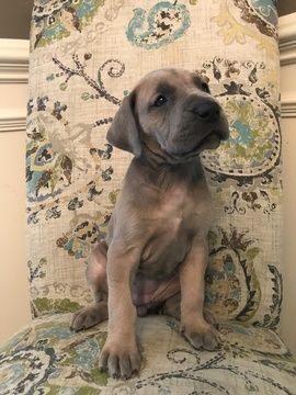 Litter Of 8 Great Dane Puppies For Sale In Mboro Tn Adn 95160 On