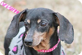 Marion Nc Dachshund Meet Willow A Dog For Adoption Mercy Fund