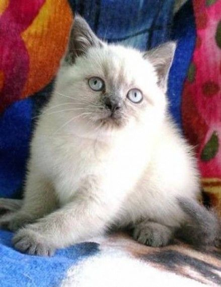 Gorgeous Purebred British Shorthair Kittens British Shorthair