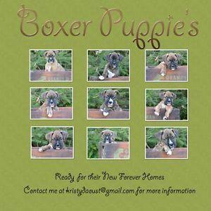 Boxer Pups For Sale Ontario Boxerpups Boxer Puppies Boxer