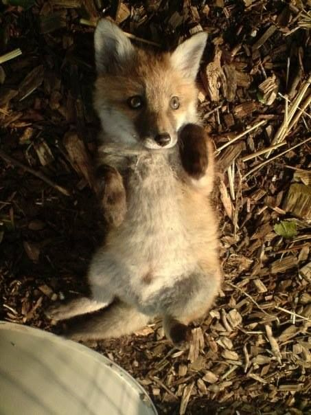 I just the love the expression on this baby fox!
