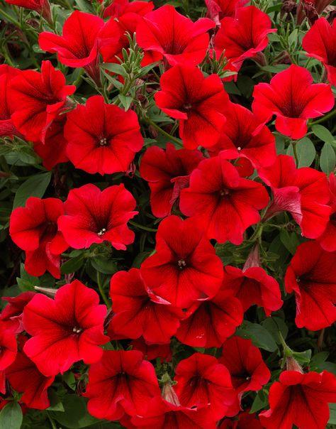 Surfinia Table Dark Red Petunias Window Box Flowers