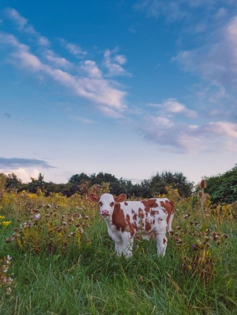 Pure Country — klaasfoto: New life at the end of summer. Cute Baby Cow, Baby Cows, Cute Cows, Baby Farm Animals, Baby Elephants, Wild Animals, Fluffy Cows, Fluffy Animals, Nature Aesthetic