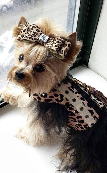 Yorkie Yorkshire Terrier Puppies Yorkie Dog Care