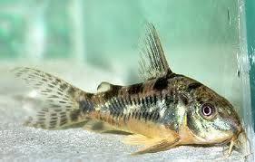 Pepper Cory Fish Catfish Aquarium Fish