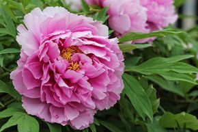 Piwonie Sadzenie Przesadzanie Uprawa Plants Flowers Garden