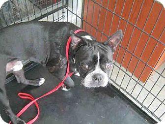 Lovables San Antonio Tx Boston Terrier Meet Tj A Dog For