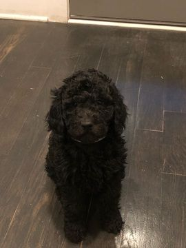 Poodle Standard Puppy For Sale In Nashville Tn Adn 66981 On