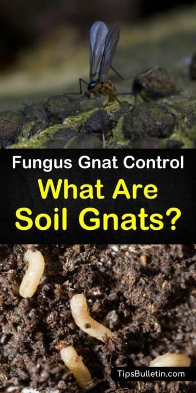 46a3691b0dfd7f44262680630d81ccd3 - How To Get Rid Of Small Gnats In Plants