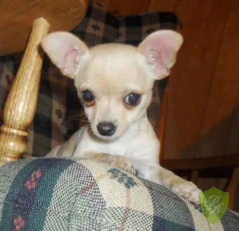 Puppies For Sale California Chihuahua Breeders Chihuahua