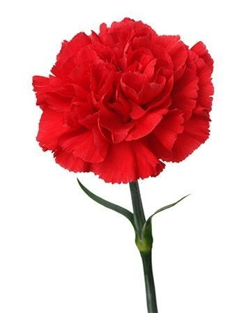 Pin By Shelltox On Flowersintherain Carnation Flower Meaning Flower Meanings Carnation Flower