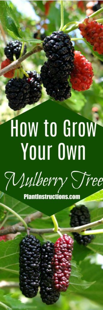 How to Grow Mulberries #mulberries #fruitgarden #gardening