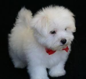 Teacup Maltese Puppies For Sale Teacup Maltese Puppies For Sale